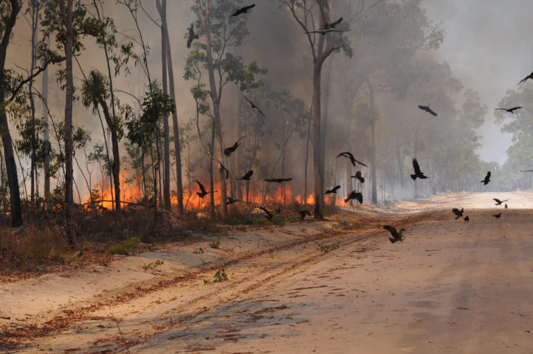 Black kites (Milvus migrans) circle near a roadway during a fire on the Cape York Peninsula in Queensland, Australia. Dick Eussen