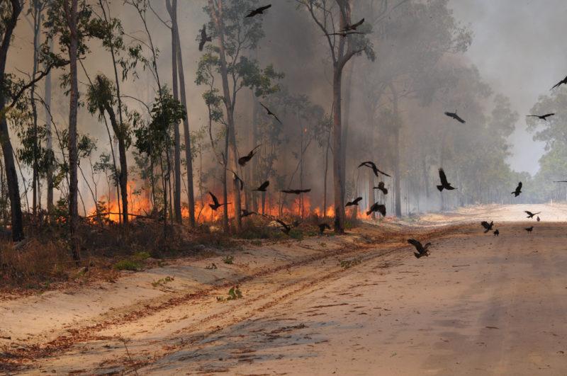 Black kites (Milvus migrans) circle near a roadway during a fire on the Cape York Peninsula in Queensland, Australia. Dick Eussen